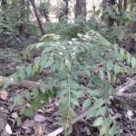 Khadi patta or curry leaf